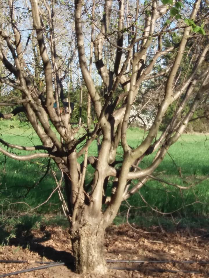 лешник дърво на дива подложка