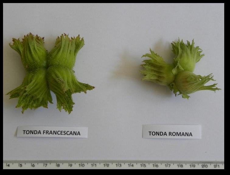 Соротве лешници - Франческана спрямо Романа