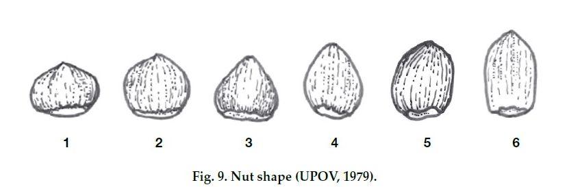Сортове лешници - определяне на формата